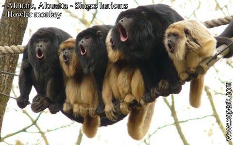 alouate-alouatta-singes-hurleurs-howler-monkey-xopark1