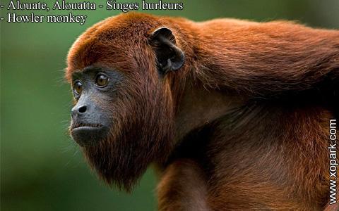 alouate-alouatta-singes-hurleurs-howler-monkey-xopark10