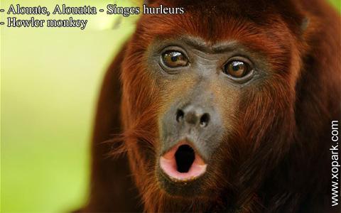 alouate-alouatta-singes-hurleurs-howler-monkey-xopark11