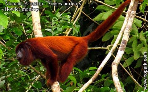 alouate-alouatta-singes-hurleurs-howler-monkey-xopark2