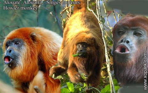 alouate-alouatta-singes-hurleurs-howler-monkey-xopark5