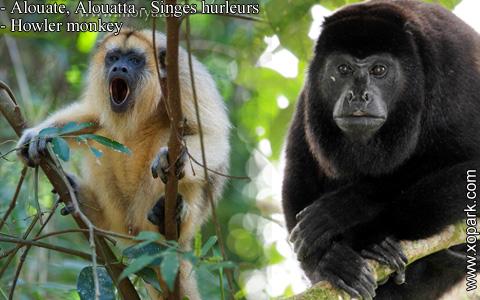 alouate-alouatta-singes-hurleurs-howler-monkey-xopark6