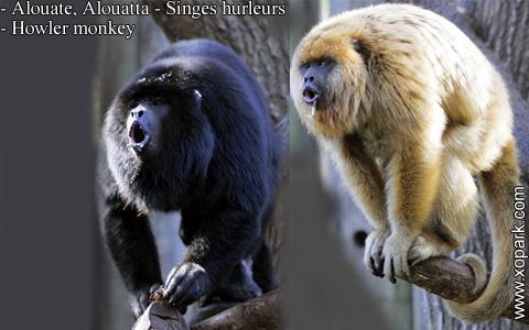 alouate-alouatta-singes-hurleurs-howler-monkey-xopark8