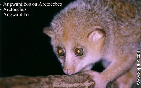 angwantibos-ou-arctocebes-arctocebus-angwantibo-xopark1
