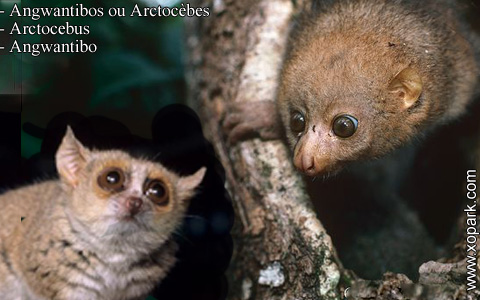 angwantibos-ou-arctocebes-arctocebus-angwantibo-xopark10