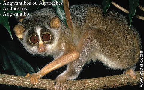 angwantibos-ou-arctocebes-arctocebus-angwantibo-xopark5