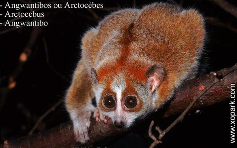 angwantibos-ou-arctocebes-arctocebus-angwantibo-xopark6