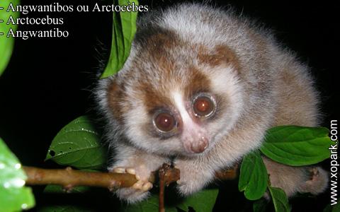 angwantibos-ou-arctocebes-arctocebus-angwantibo-xopark7