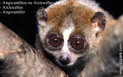 angwantibos-ou-arctocebes-arctocebus-angwantibo-xopark8