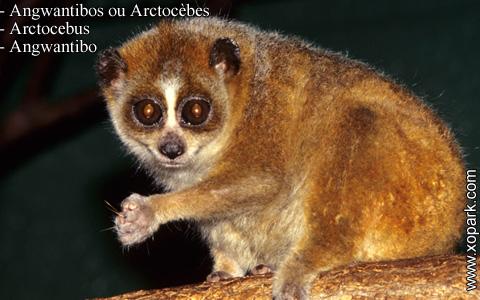 angwantibos-ou-arctocebes-arctocebus-angwantibo-xopark9