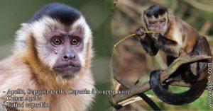 Apelle, Sapajou apelle, Capucin à houppe noire - Cebus Apella - Tufted capuchin