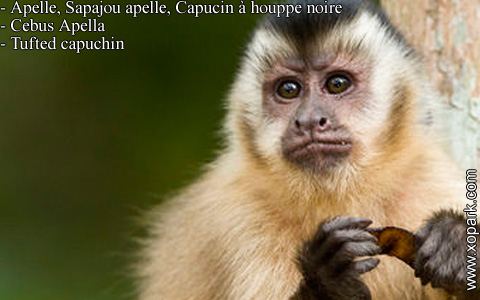 apelle-sapajou-apelle-capucin-a-houppe-noire-cebus-apella-tufted-capuchin-xopark1