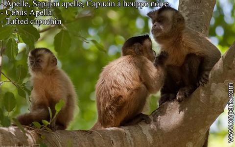 apelle-sapajou-apelle-capucin-a-houppe-noire-cebus-apella-tufted-capuchin-xopark10