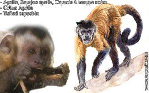 Apelle, Sapajou apelle, Capucin à houppe noire - Cebus Apella - Tufted capuchin - xopark