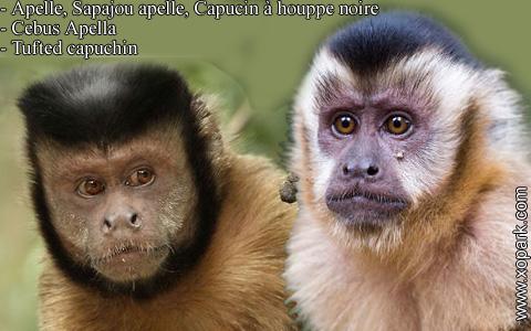 apelle-sapajou-apelle-capucin-a-houppe-noire-cebus-apella-tufted-capuchin-xopark2