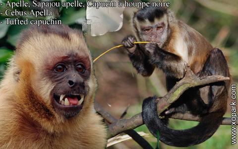 apelle-sapajou-apelle-capucin-a-houppe-noire-cebus-apella-tufted-capuchin-xopark3