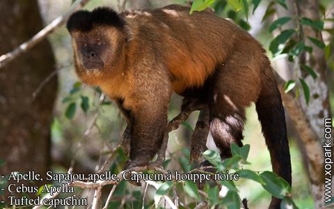 apelle-sapajou-apelle-capucin-a-houppe-noire-cebus-apella-tufted-capuchin-xopark4