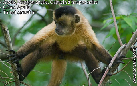 apelle-sapajou-apelle-capucin-a-houppe-noire-cebus-apella-tufted-capuchin-xopark5