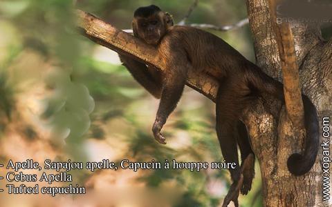 apelle-sapajou-apelle-capucin-a-houppe-noire-cebus-apella-tufted-capuchin-xopark6