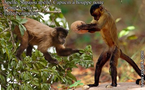 apelle-sapajou-apelle-capucin-a-houppe-noire-cebus-apella-tufted-capuchin-xopark7