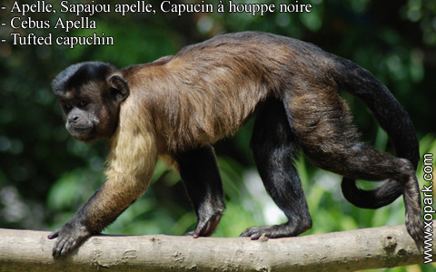 apelle-sapajou-apelle-capucin-a-houppe-noire-cebus-apella-tufted-capuchin-xopark8