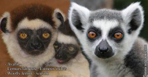 Avahi – Lémurs laineux - Laineux indris - Woolly lemur - xopark