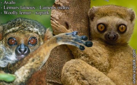 avahi-lemurs-laineux-laineux-indris-woolly-lemur-xopark1