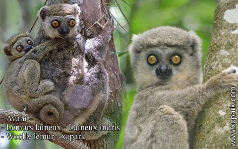 avahi-lemurs-laineux-laineux-indris-woolly-lemur-xopark10