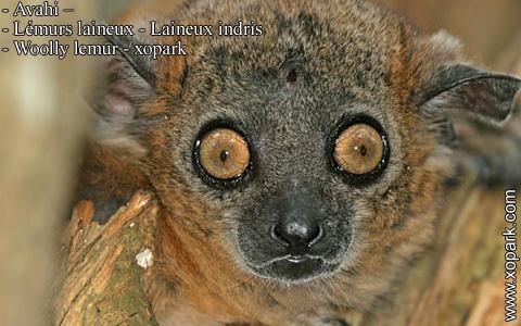 avahi-lemurs-laineux-laineux-indris-woolly-lemur-xopark2