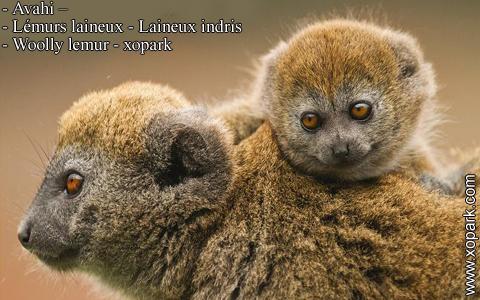 avahi-lemurs-laineux-laineux-indris-woolly-lemur-xopark3