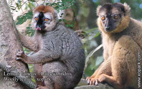 avahi-lemurs-laineux-laineux-indris-woolly-lemur-xopark4