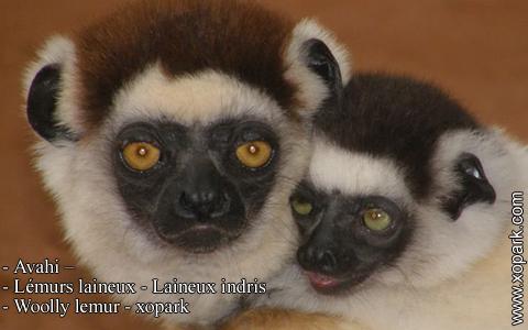 avahi-lemurs-laineux-laineux-indris-woolly-lemur-xopark5