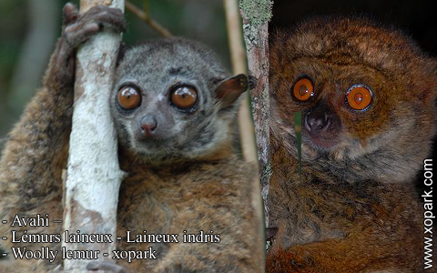 avahi-lemurs-laineux-laineux-indris-woolly-lemur-xopark7