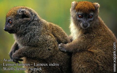 avahi-lemurs-laineux-laineux-indris-woolly-lemur-xopark8