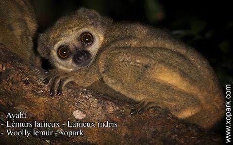avahi-lemurs-laineux-laineux-indris-woolly-lemur-xopark9