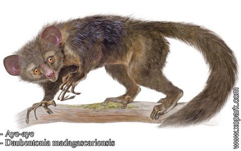 aye-aye-daubentonia-madagascariensis-xopark5