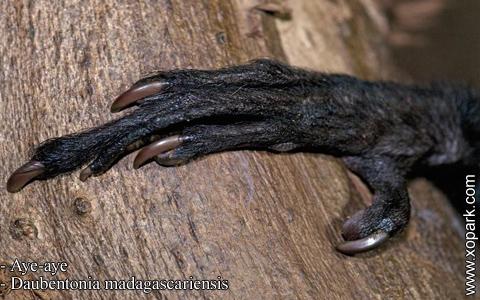 aye-aye-daubentonia-madagascariensis-xopark7