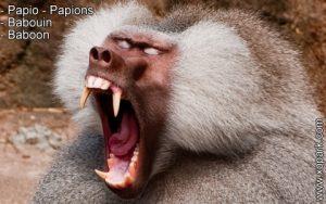 Babouin - Papio – Papions - Baboon - xopark