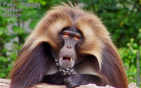 babouin-papio-papions-baboon-xopark12