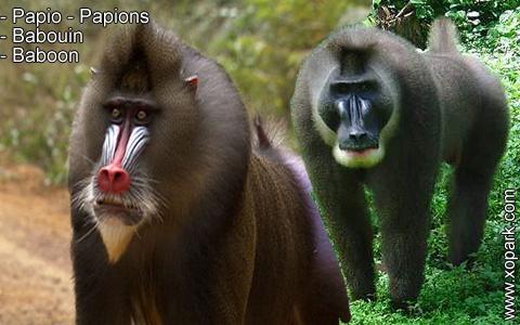 babouin-papio-papions-baboon-xopark13