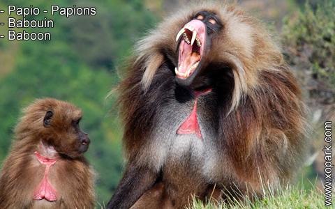 babouin-papio-papions-baboon-xopark15