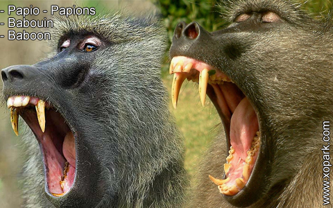 babouin-papio-papions-baboon-xopark4