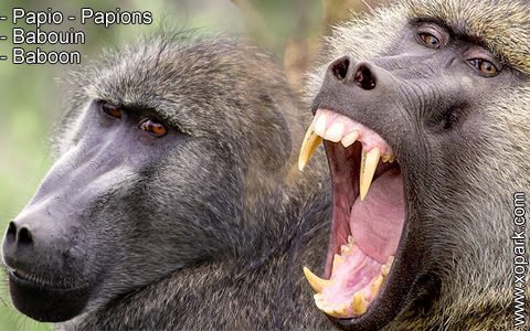 babouin-papio-papions-baboon-xopark5