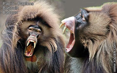 babouin-papio-papions-baboon-xopark9