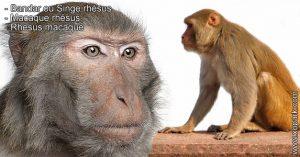 Bandar ou Singe rhésus - Macaque rhésus - Rhesus macaque - xopark.com