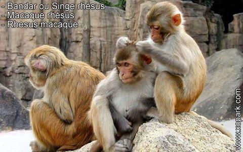 bandar-ou-singe-rhesus-macaque-rhesus-rhesus-macaque-xopark1