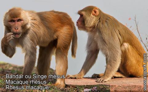 bandar-ou-singe-rhesus-macaque-rhesus-rhesus-macaque-xopark10