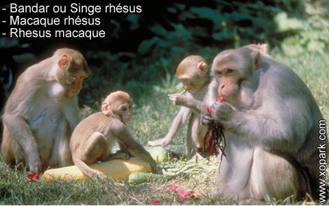 bandar-ou-singe-rhesus-macaque-rhesus-rhesus-macaque-xopark2