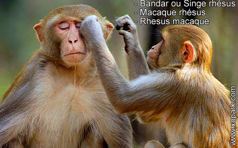 bandar-ou-singe-rhesus-macaque-rhesus-rhesus-macaque-xopark3