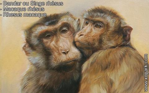 bandar-ou-singe-rhesus-macaque-rhesus-rhesus-macaque-xopark4